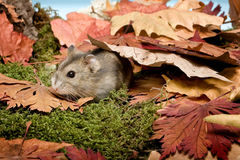 Hamster in the fall royalty free stock photos
