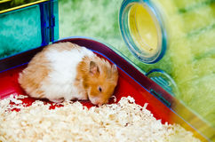 Hamster Falling Asleep Royalty Free Stock Images