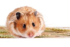 Hamster with food. On a white background Royalty Free Stock Photography