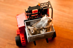 Hamster in a Forklift Box. Young Hamster in a ForkLift Box Royalty Free Stock Images