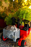 Hamster in a Forklift Box. Young Hamster in a Forklift Box Stock Photo