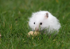 Hamster found a peanut Stock Images