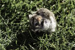 Hamster in a lawn close up Royalty Free Stock Images