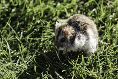Hamster in a lawn close up Royalty Free Stock Photo