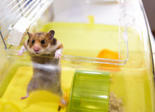 Hamster gets out of his cage Royalty Free Stock Images
