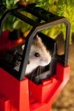 Hamster Gezet in een Vorkheftruck Stock Afbeeldingen