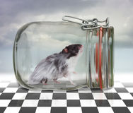 Hamster in a glass. A hamster captured in a glass Royalty Free Stock Images