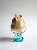 Hamster in the glass Royalty Free Stock Image
