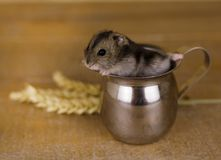 Hamster in a glass beaker on a wooden surface with wheat stalks Royalty Free Stock Images