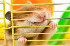 Hamster gnawing at the cage Stock Images