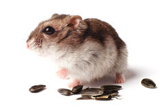 Hamster with grain on white background Stock Photography