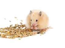 Hamster and grains Royalty Free Stock Image