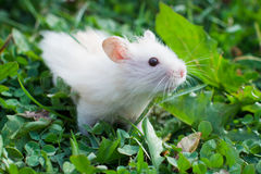 Hamster in the grass Stock Images