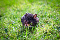 Hamster on grass field Stock Image