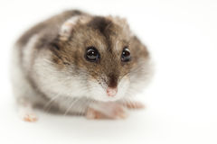 A hamster gray Stock Photos