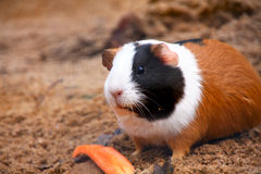 Hamster  or guinea pig Royalty Free Stock Photo