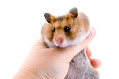 Hamster in hand Royalty Free Stock Image