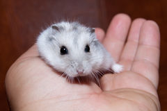 Hamster in hand Royalty Free Stock Photo