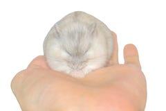 Hamster an Hand Stockfotografie