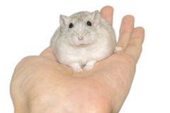 Hamster on hand Stock Images