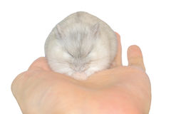 Hamster on hand Stock Photography