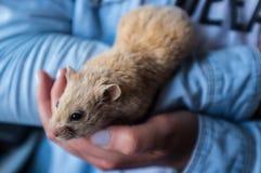 Hamster in handen Stock Afbeeldingen