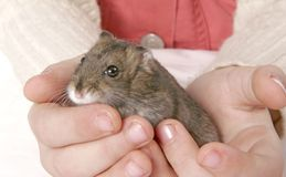 Hamster in hands Stock Photography