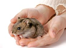 Hamster in hands Stock Image