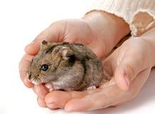 Hamster in hands. Grey domestic hamster sitting in children hands Stock Image