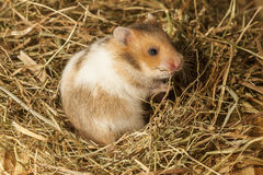 Hamster in the hay. Stock Images