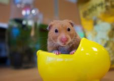 A hamster in her nest. Shoot a hamster looking at me in her nest Royalty Free Stock Photos