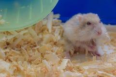 Hamster het kijken Royalty-vrije Stock Fotografie