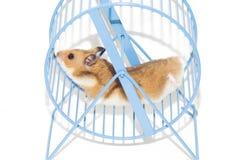 Hamster in het wiel Stock Foto's