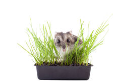 Hamster hiding in green grass Royalty Free Stock Images