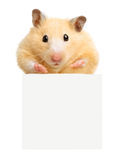Hamster hold empty white poster stock image
