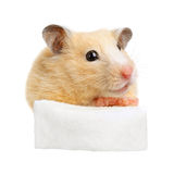 Hamster hold empty white poster Royalty Free Stock Photos