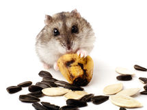 Hamster holding a old banana Royalty Free Stock Image