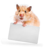 Hamster holds a business card Stock Photos