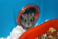Hamster in House Stock Photo