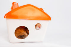 Hamster in the house Stock Photography