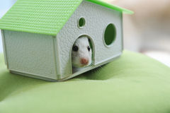 Hamster and house Royalty Free Stock Image