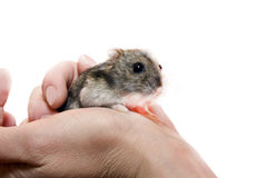 Hamster in a human hand Royalty Free Stock Photography