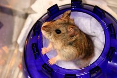 Hamster I Royalty Free Stock Images
