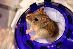 Hamster I Royalty-vrije Stock Afbeeldingen