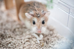 Hamster i bur 2 royaltyfri bild