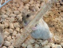 Hamster i en bur arkivfoto