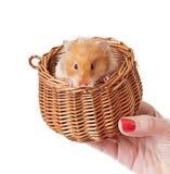 Hamster i en korg royaltyfri bild