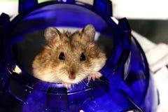 hamster ii Arkivbild