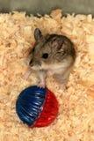 hamster iii Arkivbilder