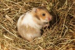 Hamster im Heu. Stockbilder